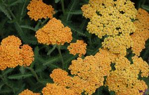 Achillea millefolium 'Terra Cotta'
