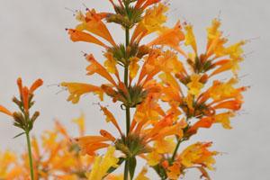 Agastache Sunrise® Orange