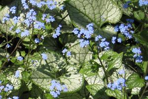 Brunnera macrophylla 'Jack Frost' PP13,859
