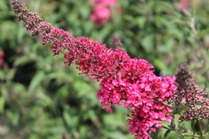 Buddleia Monarch®'Prince Charming' PP28,903