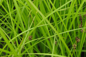 Carex pennsylvanica