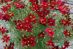 Coreopsis Permathread  'Red Satin' PPAF