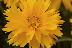 Coreopsis grandiflora 'Double the Sun'