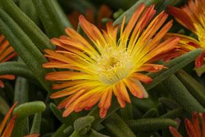 Delosperma  Delmara® Orange