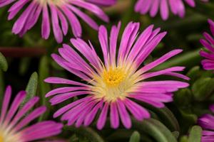 Delosperma  Delmara® Pink