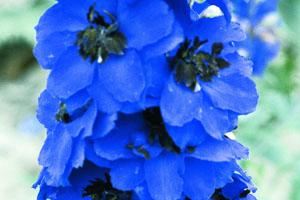 Delphinium 'Magic Fountains Dark Blue/Dark Bee'