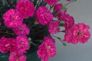 Dianthus 'Starry Night' PP17,731