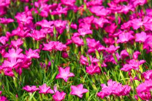 Dianthus plumarius 'Kahori'