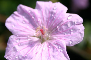 Geranium sanguineum variety striatum