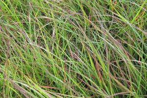 Pennisetum alopecuroides 'Burgundy Bunny' PPAF