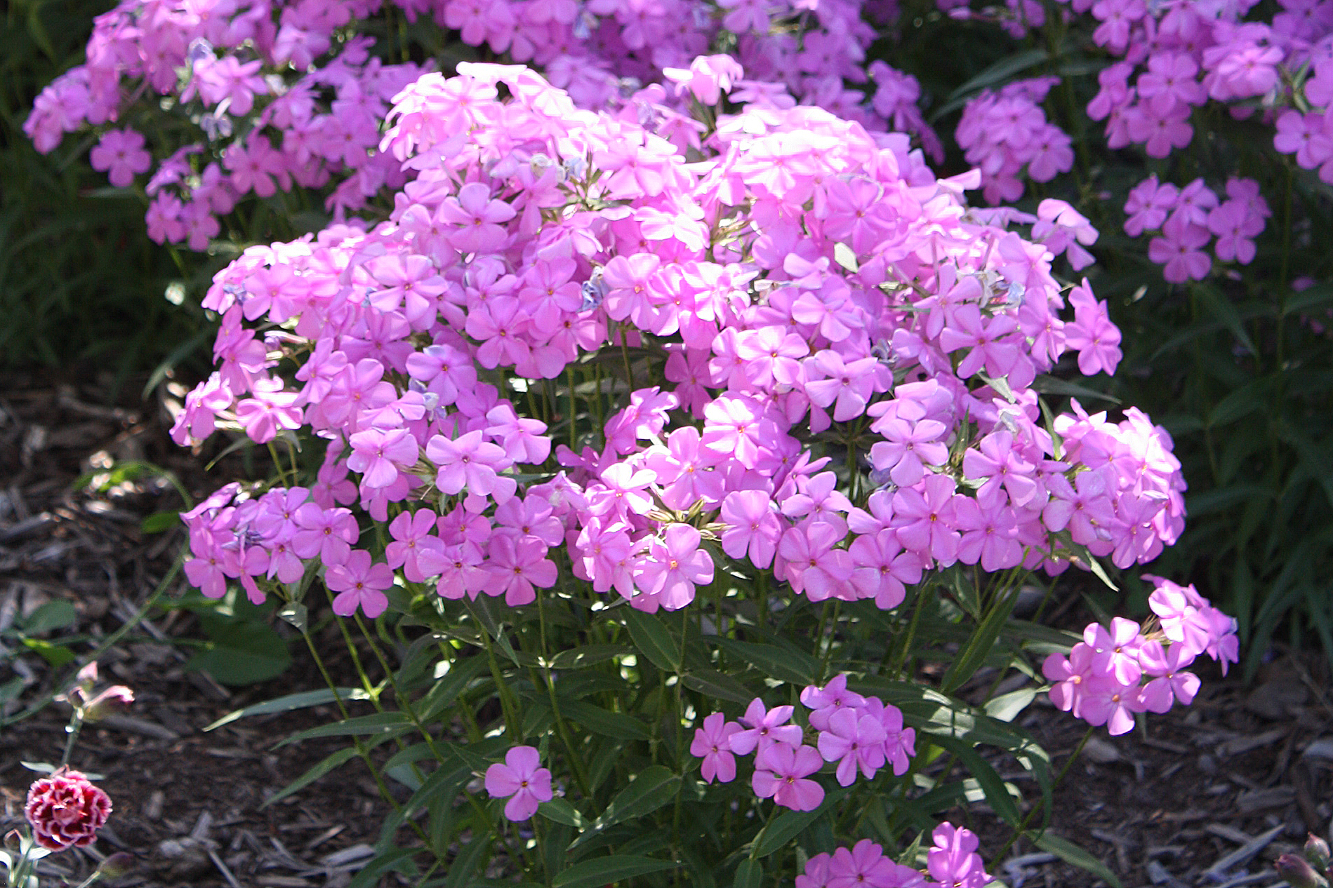 Phlox 'Forever Pink' PP24,918