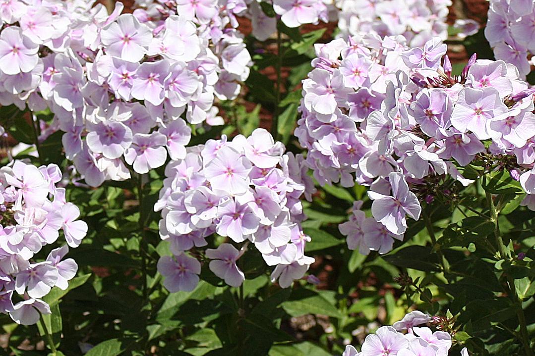 Phlox paniculata 'Franz Schubert'