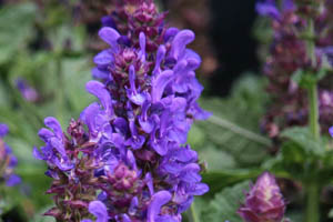 Salvia nemerosa 'Blue Marvel' PP27,018