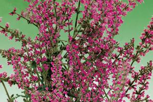 Salvia pratensis 'Royal Crimson Distinction' PPAF