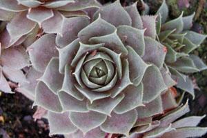 Sempervivum 'Purple Beauty'