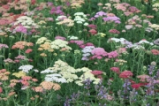 Achillea 'Summer Pastels'