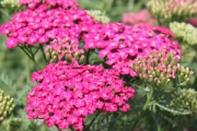 Achillea millefolium 'Saucy Seduction' PP20,782