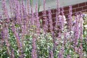 Agastache 'Purple Haze'