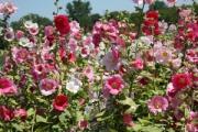 Alcea rosea 'Indian Spring'
