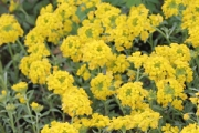 Alyssum wulfenianum 'Golden Spring' PP25,710