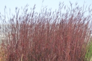 Andropogon gerardii 'Red October' PP26,283