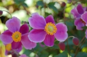 Anemone huphensis 'September Charm'