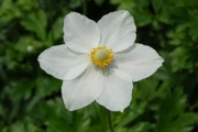 Anemone sylvestris
