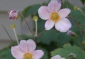 Anemone tomentosa 'Robustissima'