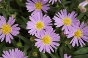 Aster dumosus &#039;Wood&#039;s Light Blue&#039;