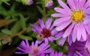 Aster dumosus &#039;Wood&#039;s Pink&#039;