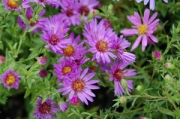 Aster dumosus &#039;Wood&#039;s Purple&#039;