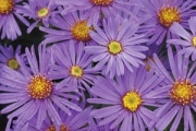 Aster &#039;Blue Autumn&#039; PP17,400