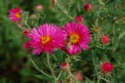 Aster novae-angliae &#039;Alma Potschke&#039;
