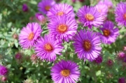 Aster novae-angliae &#039;Purple Dome&#039;