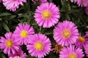 Aster novi-belgii &#039;Alert&#039;