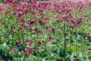 Astrantia major 'Abbey Road' PP14,961