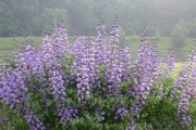Baptisia 'Purple Smoke'