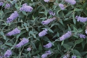Buddleia Monarch® 'Glass Slippers' PP27,832
