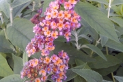 Buddleia 'Bicolor'