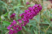 Buddleia davidii 'Royal Red'