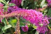 Buddleia davidii 'Stellar Pink'