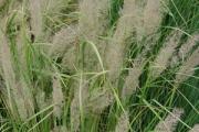 Calamagrostis arundinacea brachytricha