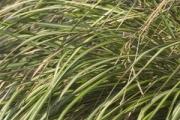 Calamagrostis acutiflora 'Eldorado' PP16,486