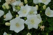Campanula carpatica 'White Clips'