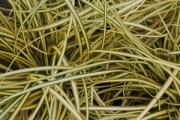 Carex hachijoensis 'Evergold'