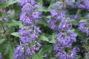 Caryopteris clandonensis 'Inoveris' Grand Bleu® PP17,837