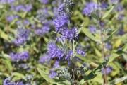Carypoteris clandonsis 'Longwood Blue'