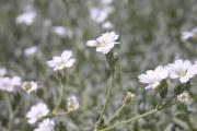 Cerastium tomentosum 'Silver Carpet'