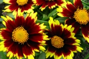 Coreopsis Big Bang 'Cosmic Eye' PP22,601