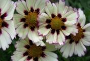 Coreopsis Big Bang 'Star Cluster' PPAF